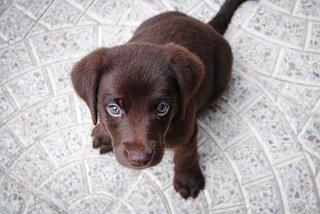 Labrador pup bruin voor de Labrador Handboek Review