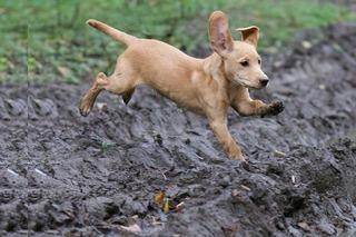 Labrador Handboek Review, labrador pup in de modder