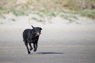 Labrador rennend op strand