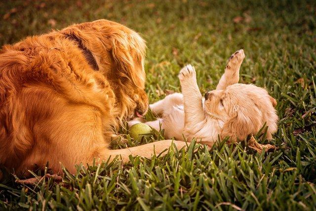Golden Retriever met pup