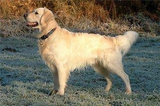een golden retriever op het gras