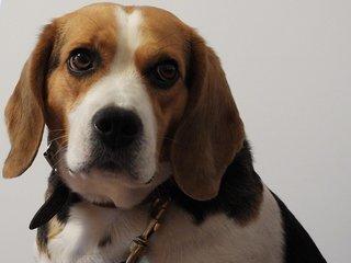 Beagle kijkt naar rechts
