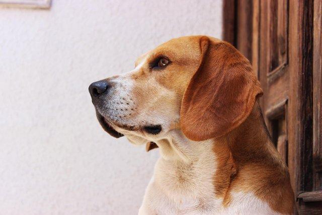 Beagle die kijkt
