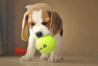 Beagle pup met bal