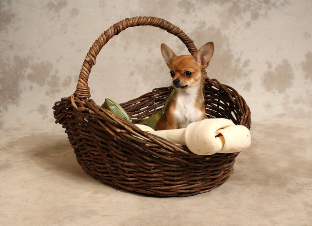 Chihuahua in mand