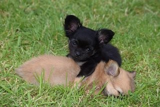 Chihuahua's in het gras