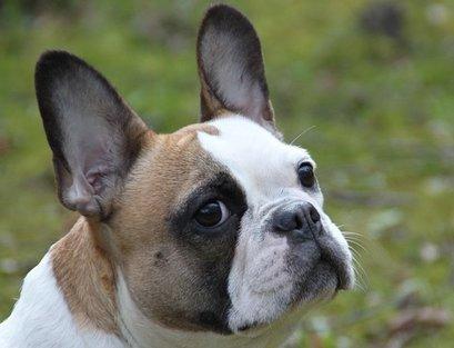 Portret Franse Bulldog