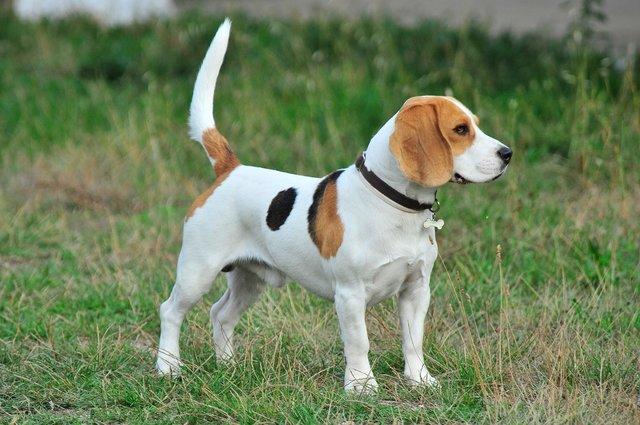 Staande Beagle voor de Beagle Geheimen Review