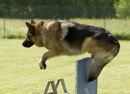 Springende Duitse Herder