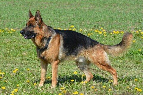 Duitse Herder voor de Duitse Herder Handboek review